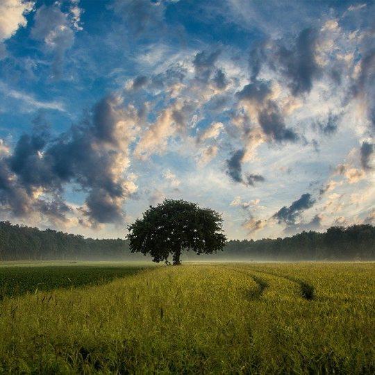 tree, field, cornfield